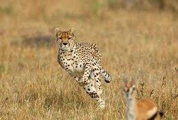 imagen del contenido Guepardo: más acelerado que Usain Bolt