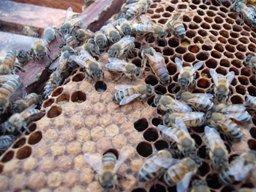 imagen del contenido Controlarán agroquímicos para proteger 150 mil colmenas