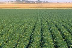 imagen del contenido A pasos de levantarse la mayor cosecha de soja de la historia