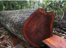 """imagen del contenido Perú: EEUU bloquea envíos de madera por """"comercio ilegal"""""""