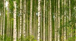 imagen del contenido La importancia de los bosques para Finlandia