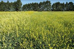 imagen del contenido No olvidemos la carinata y los biocombustibles