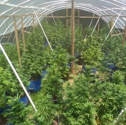 imagen del contenido Habrá nuevas empresas dedicadas  a la producción de cannabis psicoactivo
