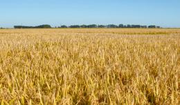 imagen del contenido Récord histórico de producción de maíz