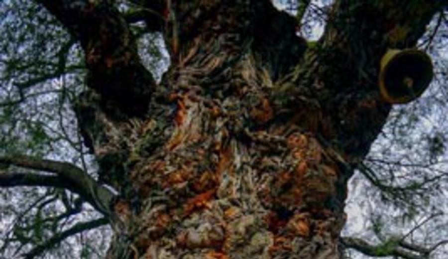 imagen de Dos algarrobos reconocidos como árboles patrimoniales en Perú