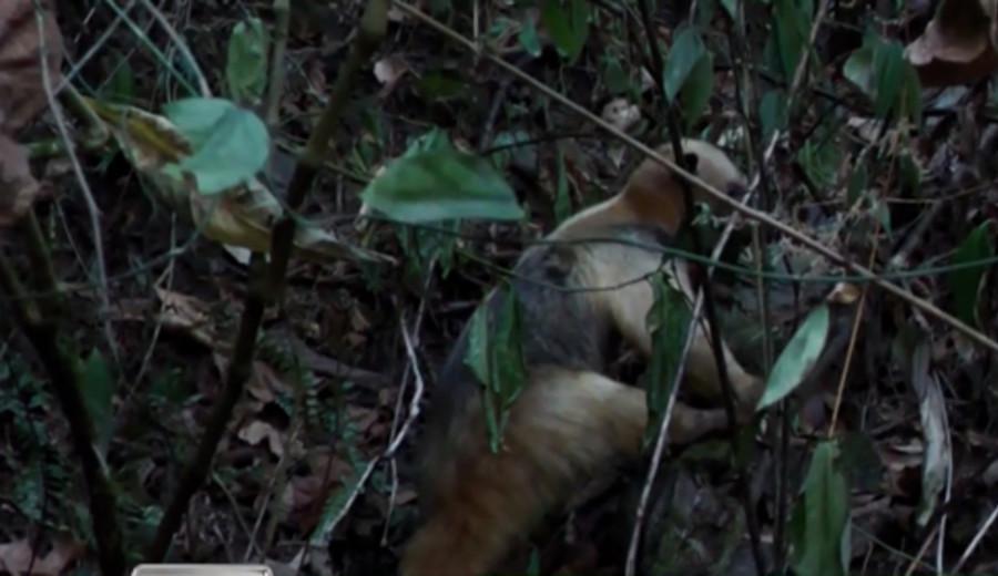 imagen de Liberan en Perú a oso hormiguero que escapó de incendio